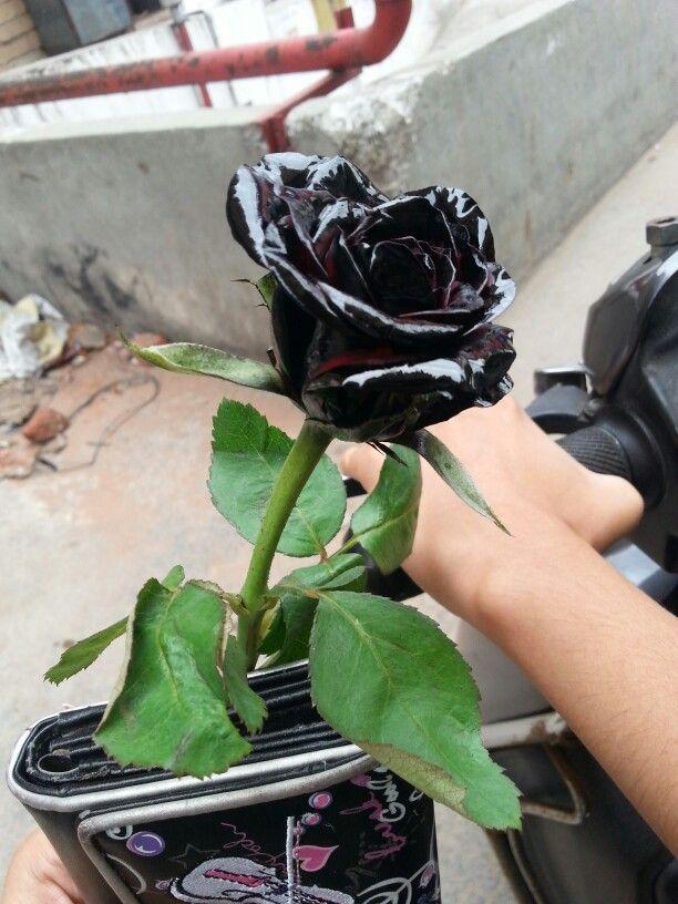 Finalyyyy I Owned Thay Beautiful Black Rose Its Real Bit Not Original P Black Rose Beautiful The Originals