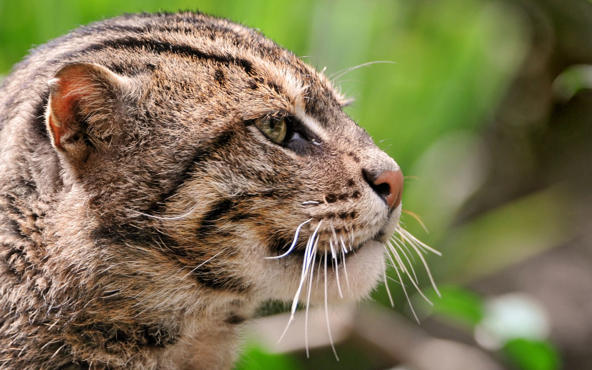 wild_cat_close_up Wild cat species, Small wild cats