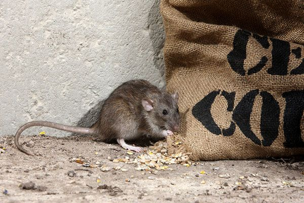 How to Get Rid of Rats | Learn the best methods to deal ...