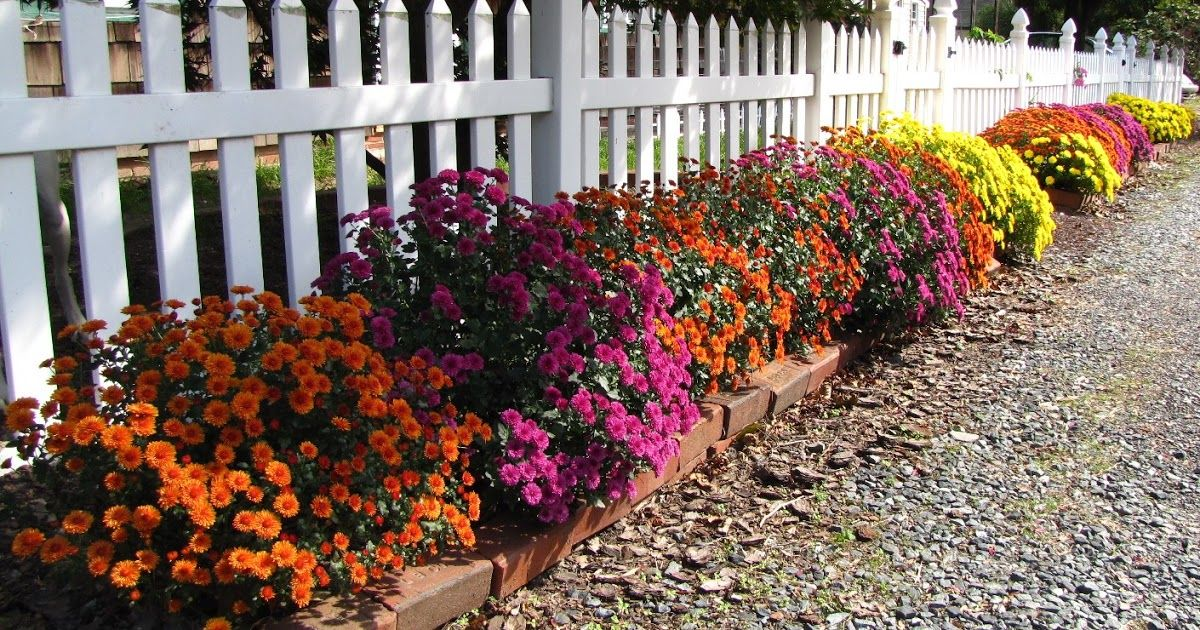 Chrysanthemums, also called garden mums, are a perennial plant that can benefit from pruning starting in early spring. However, don't t...
