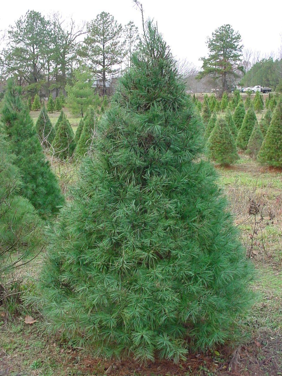 White Pine Trees For Your Garden Landscape Designs For Your Home White Pine Tree Garden Landscape Design Landscape Design