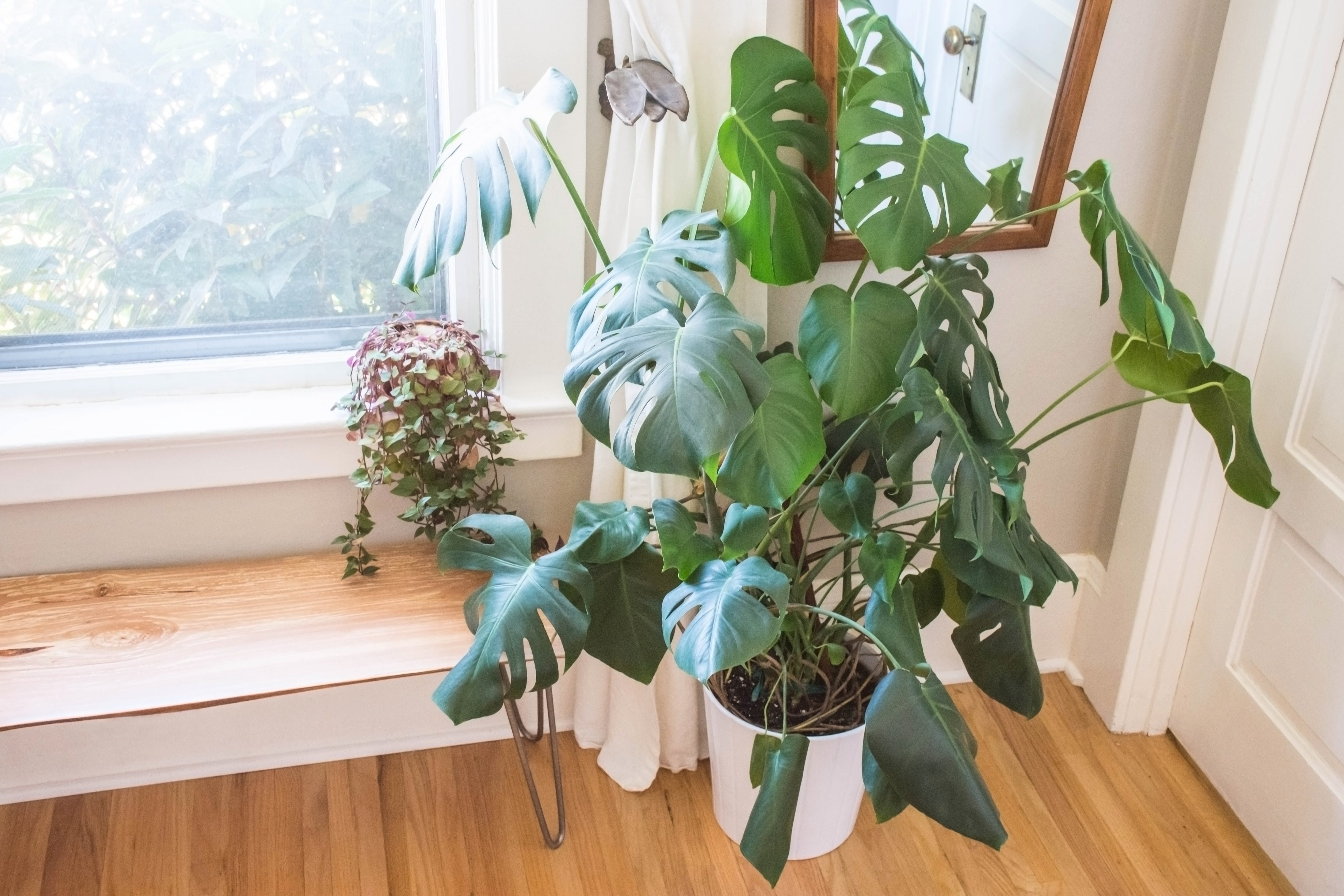 The Houseplant Lover's Guide to Monstera Deliciosa: Tips, Tricks