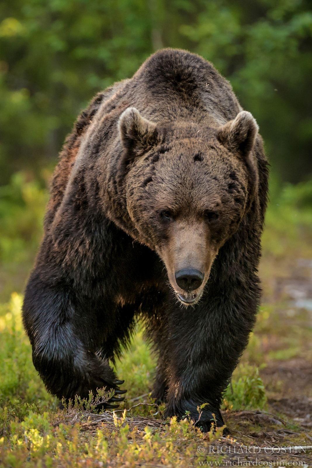 Wildlife Portfolio Brown Bears Brown bear, Bear