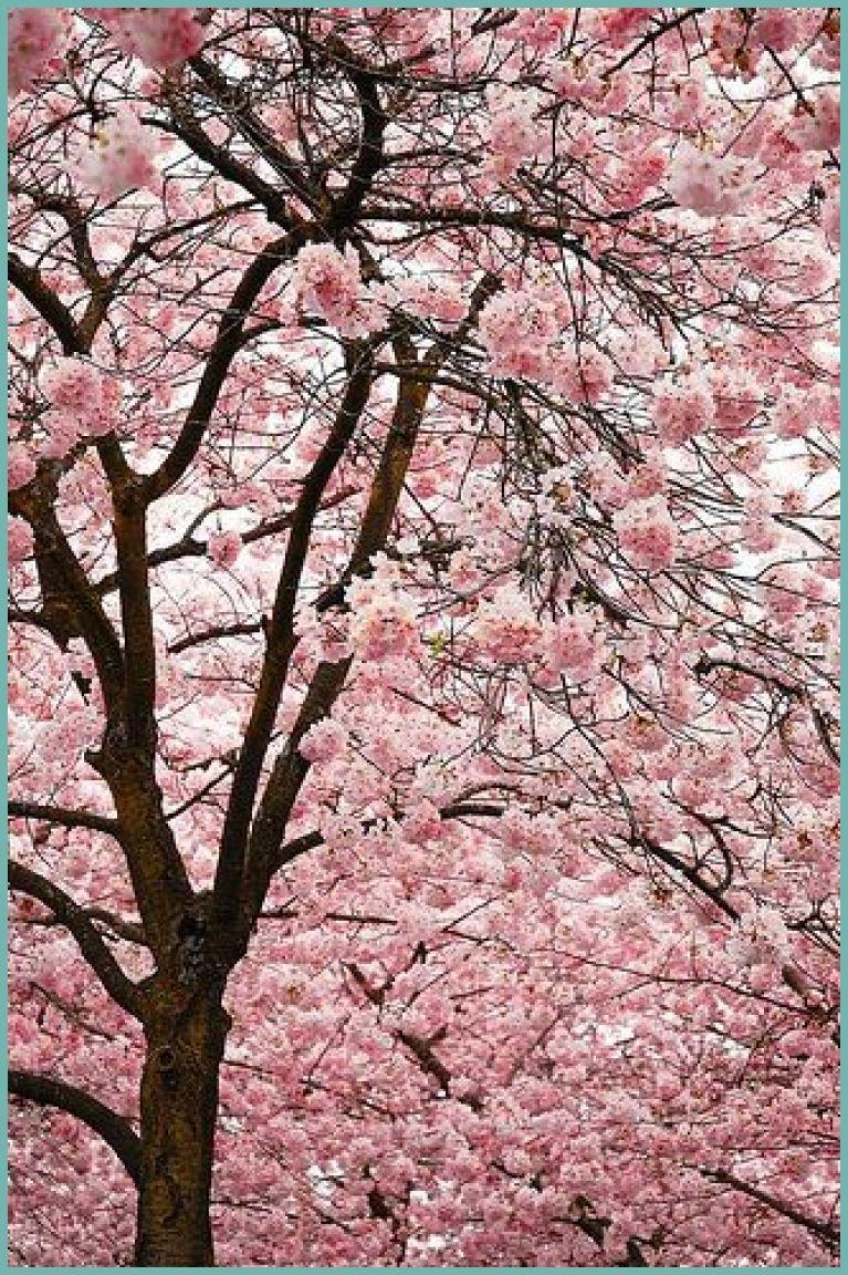 Cherry Blossoms 20333 Beneath The Blossoms Cherry Blossom Festival Waterfront Park Portland Oregon Follow Cherry Blossom Festival Blossom Beautiful Gardens