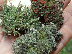 3 Pc Live Lichen Combo British Solder Pixie Cup Pityrea for Terrariums Fairy Gardens