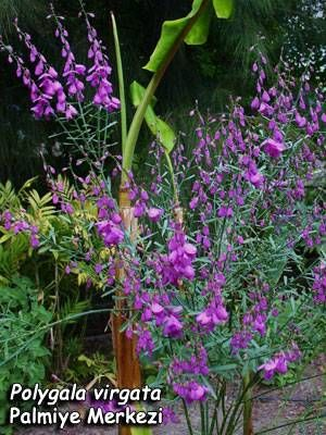 Polygala Virgata Purple Broom Is A Shrub Which Can Grow Vertically To A Height Of 2 2 5m It Has Long Thin Leaves That Are A Plants Planting Flowers Shrubs