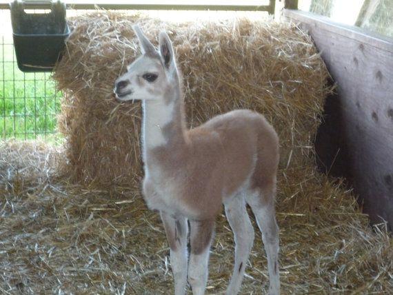 Baby Llama by HikingTrails on Etsy, $20.00