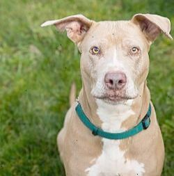 Portland Oregon American Pit Bull Terrier Meet Lillybear