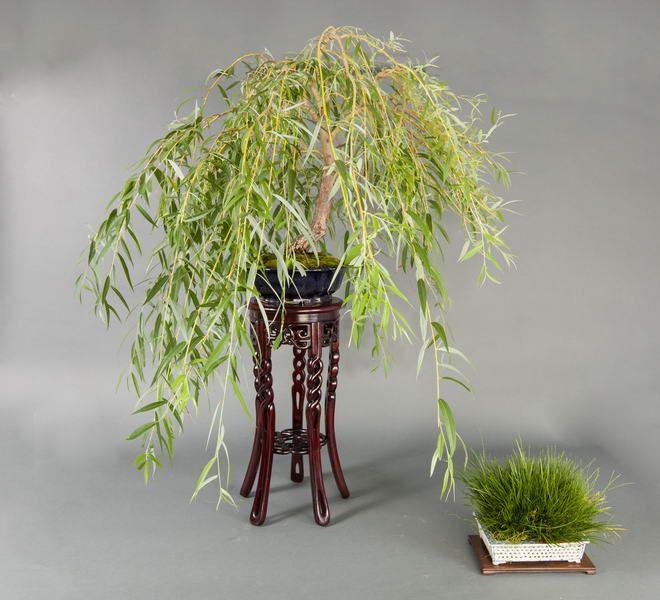 Saule pleureur - Salix babylonica | Bonsai | Pinterest | Saule ...