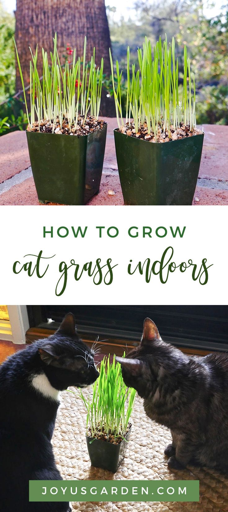 How to grow cat grass indoors so easy to do from seed in
