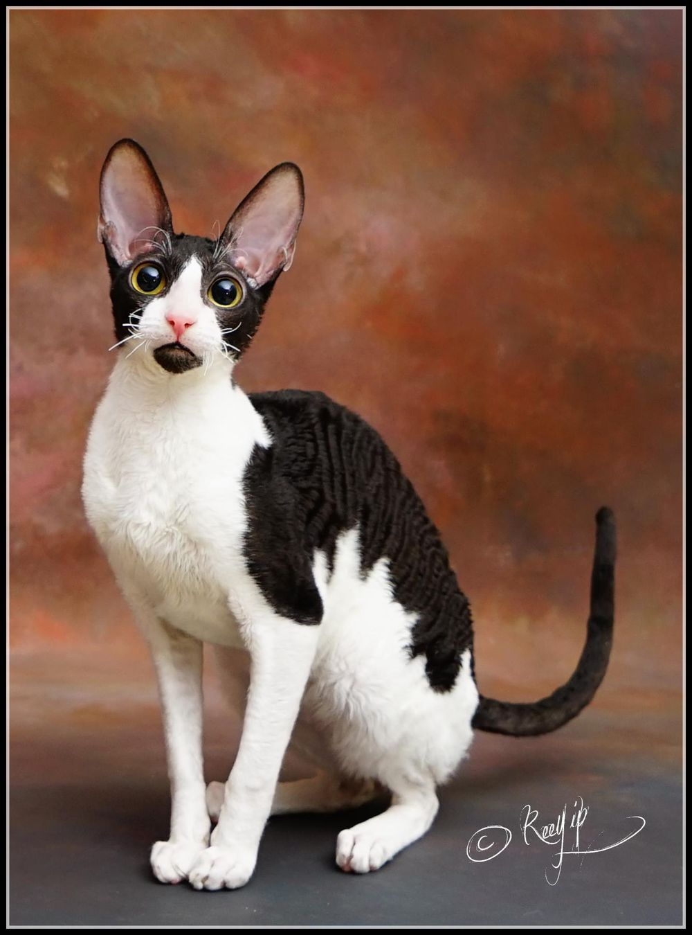 Cornish Rex Cat is a breed of domestic cat The Cornish Rex Cat