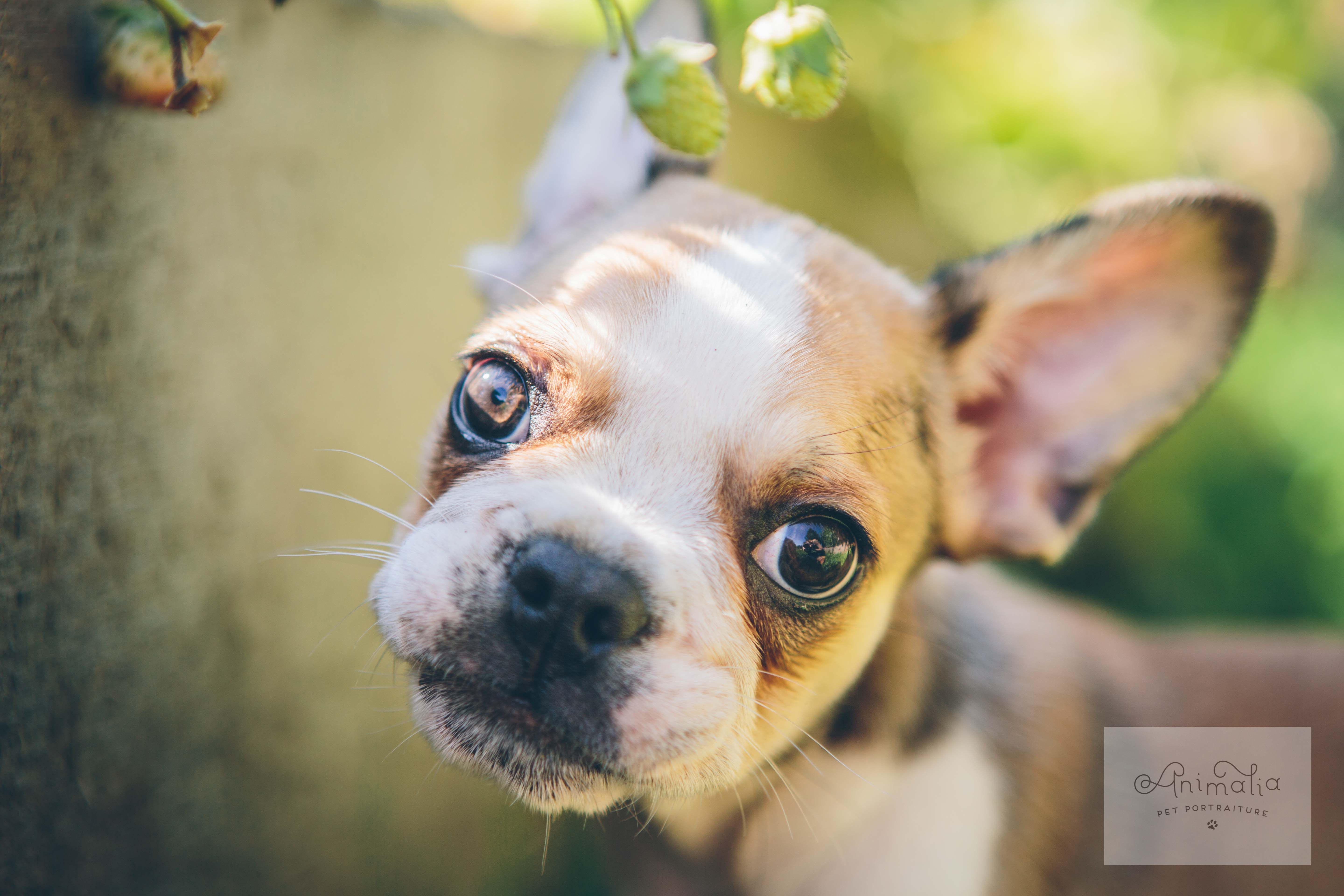 Micro Royal Frenchel Puppy Photography by Seattle based
