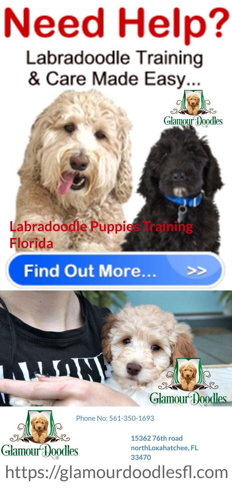 Labradoodle Puppy Breeders In Florida Labradoodle Labradoodle Puppy Puppy Training