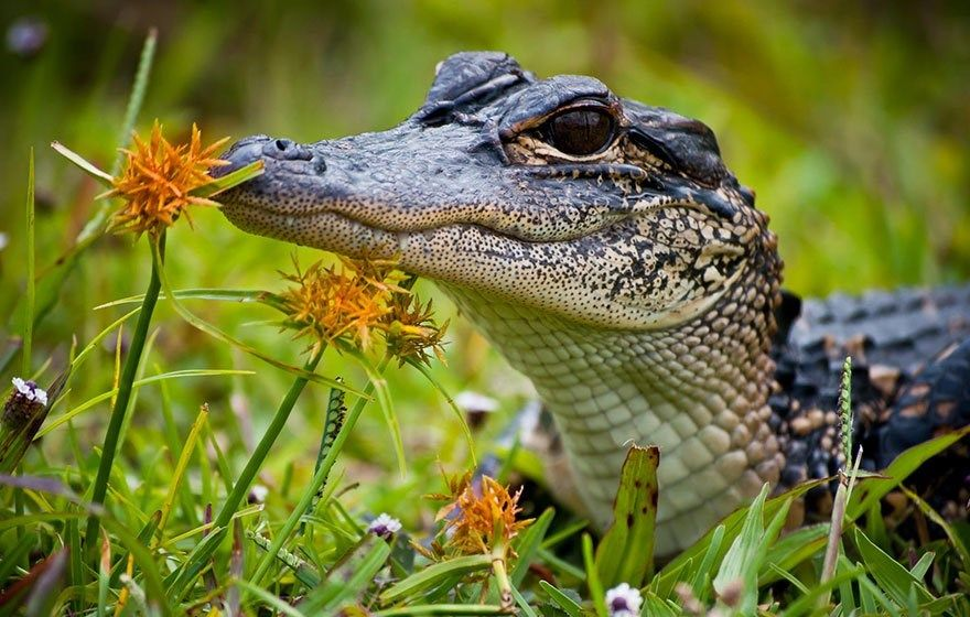 15 Times Adorable Animals Stopped to Smell The Flowers | Animals, Cute animals, Baby alligator