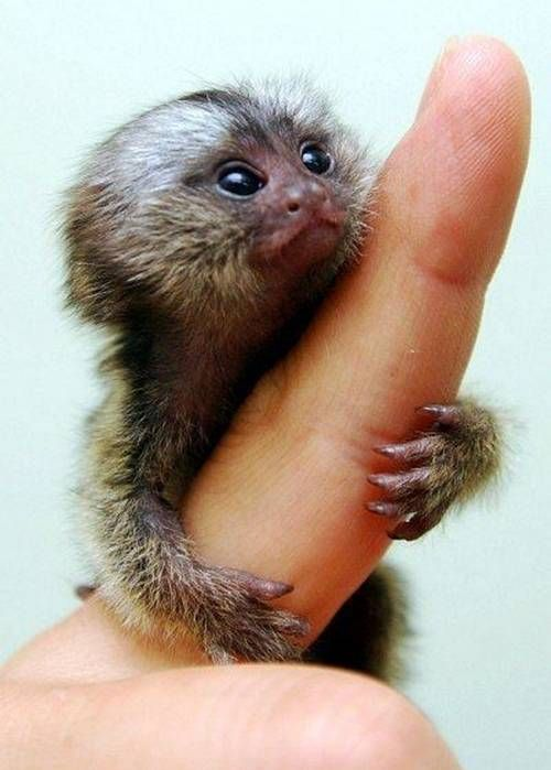 Worlds smallest monkey share this post projects to try worlds smallest monkey share this post voltagebd Image collections