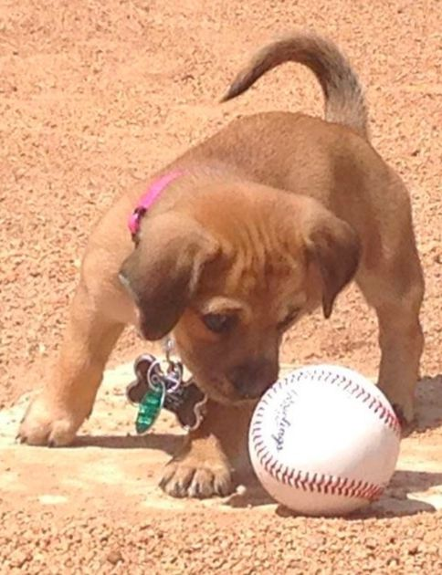 Tiny Puppy Rescued From Baseball Stadium Now Has Important Job As