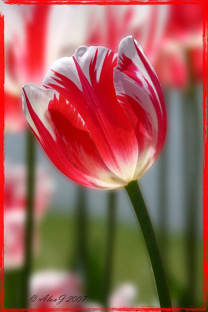 ~~Candy Cane ~ tulip by alanj2007~~