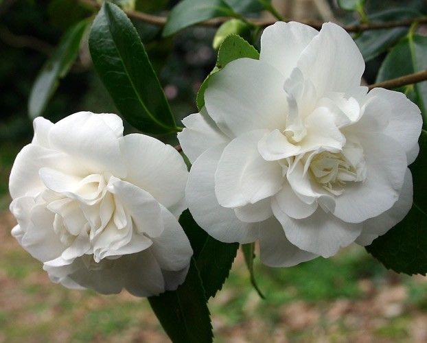 White Camellia Bush Google Search Mock Orange Shrubs Buy Plants