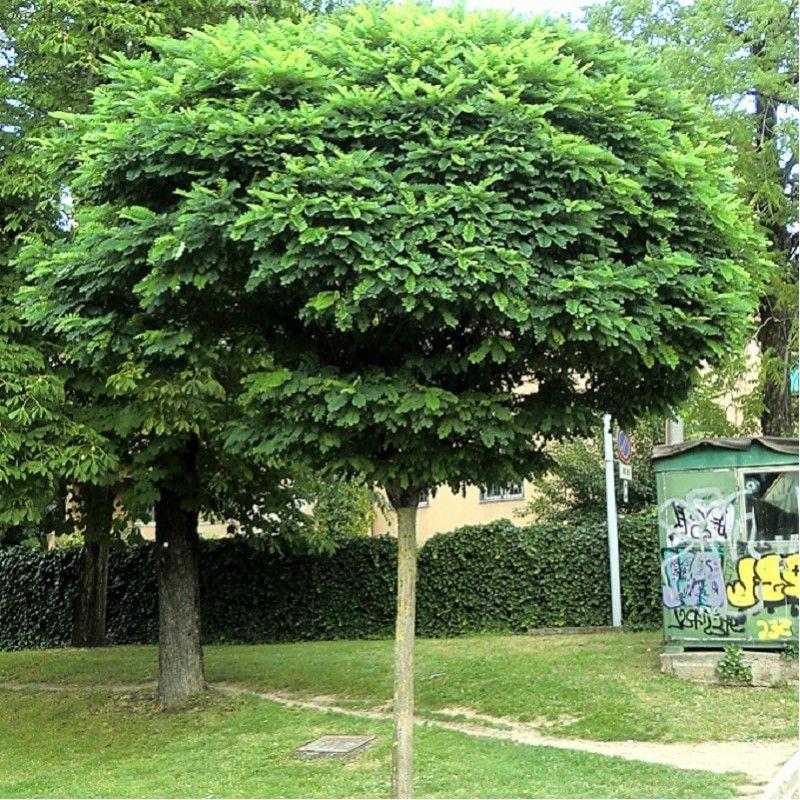 robinia pseudoacacia umbraculifera acacia boule jardini res zen et jardins. Black Bedroom Furniture Sets. Home Design Ideas