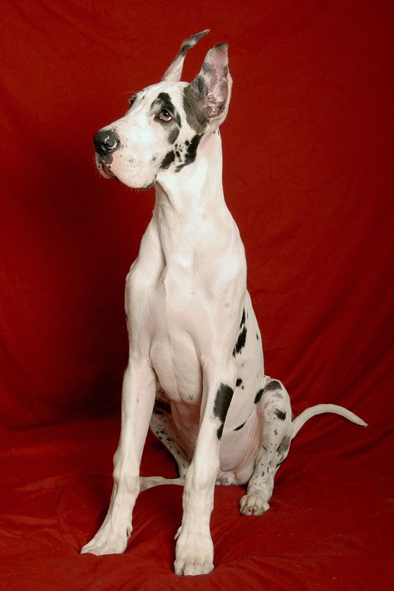Beautiful Dane Great Dane Dogs Great Dane Dog Training Obedience