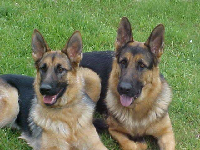 Great German Shepherds For Families German Shepherd Dogs Shepherd