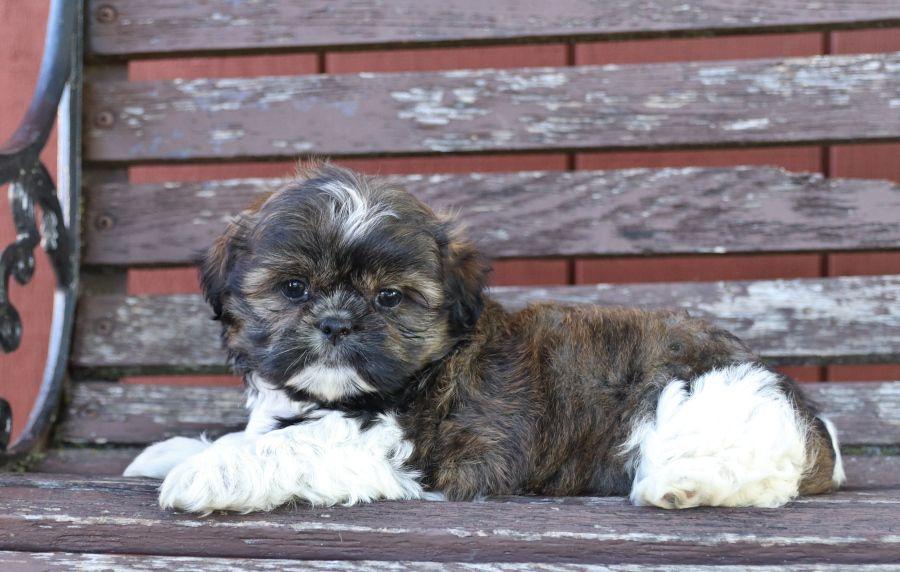 Puppies For Sale Shih Tzu Puppy Dog Breeder Lancaster Puppies