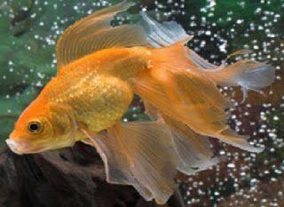 Veiltail Goldfish Veiltail Goldfish Pet Fish Goldfish