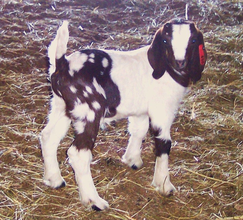 Boer goats for sale in ohio from gold strike boer goats