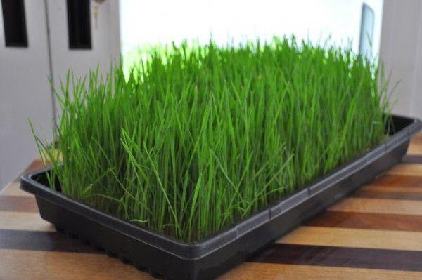 faire-pousser-herbe-de-blé   cuisine: germes et pousses