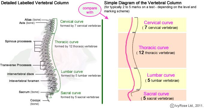 Simple Diagram Of Vertebral Column Projects To Try Pinterest