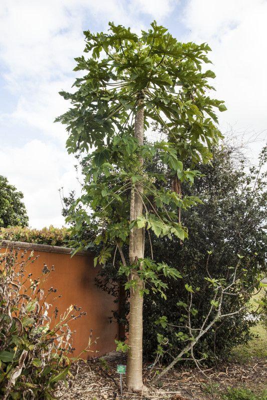 Papaya Tree Near A Wall At The Fruit And E Park