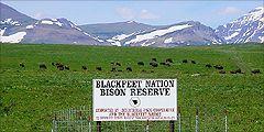 blackfeetbuffalo