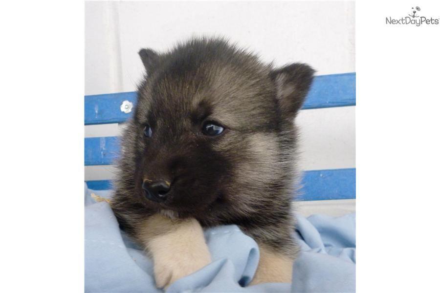 Norwegian Elkhound For Sale Norwegian Elkhound Elkhound Puppies Grey Dog
