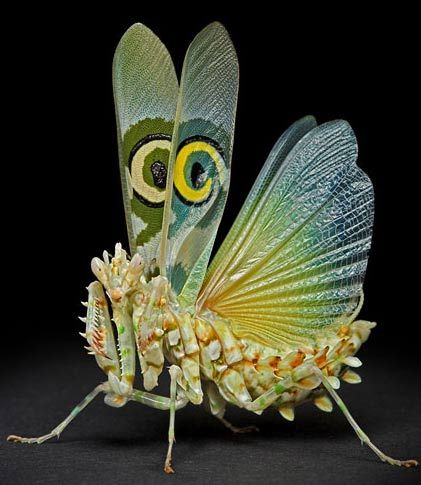 Pseudocreobotra wahlbergii: The spiny Flower Mantis is a beautiful and colorful flower mantis. They are white with orange and green stripes, and as adults they have a beautiful patch of color on their wings that looks like an eye. This species of praying mantis has its natural range in sub-Saharan Africa.