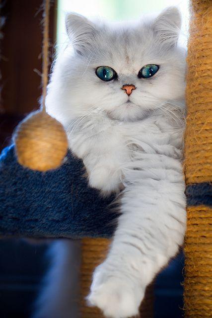 Top 5 Friendliest Cat Breeds #catbreeds