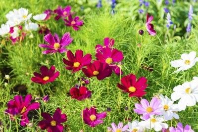 Cosmos Plant Varieties Learn About Types Of Cosmos Plants Easy To Grow Flowers Cosmos Plant Cosmos Flowers