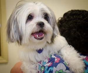 Adopt Christine On Doggie Love Lhasa Apso Dogs Shelter Dogs