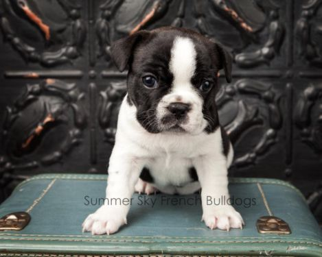 French Bulldog Brindle Pied Blue Carrier 8 Weeks On Jan 5