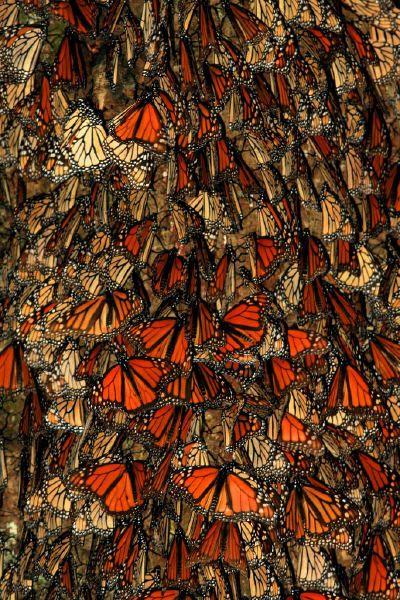 Santuario della Mariposa Monarca, Mexico. Riuscite a immaginare quanta strada fanno per arrivare fino a lí?