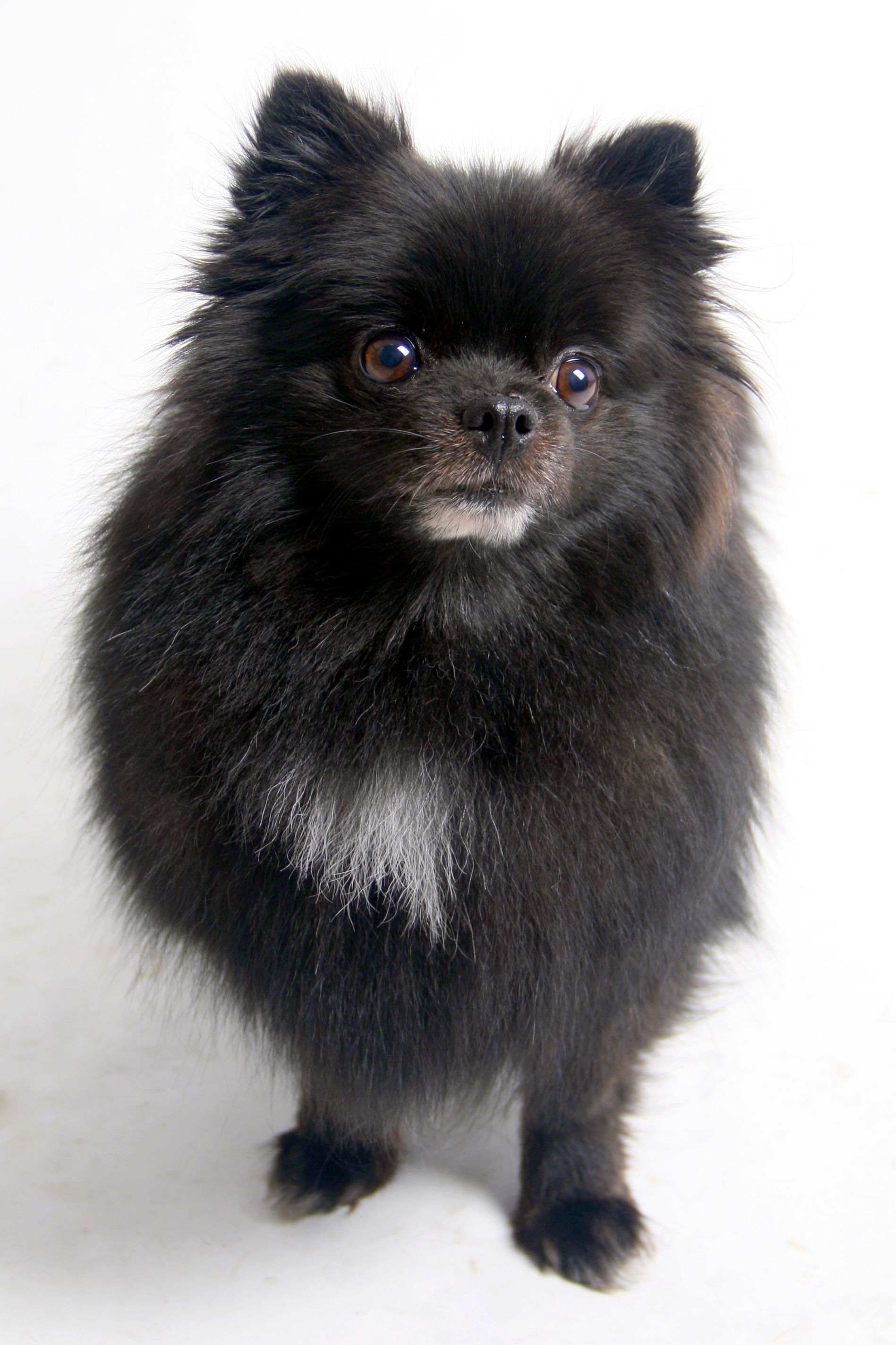 When Prima, a fouryearold Pomeranian mix, arrived at the