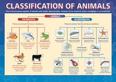 animal kingdom vertebrates invertebrates kinders fauna animal classification science. Black Bedroom Furniture Sets. Home Design Ideas