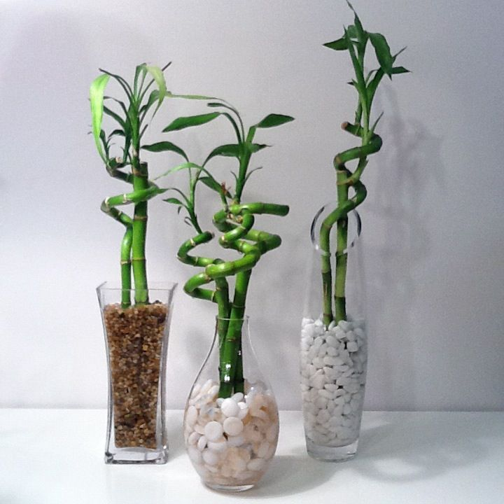 cheap glass vases used to make lucky bamboo thrifty. Black Bedroom Furniture Sets. Home Design Ideas