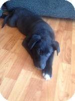 Louisville Ky Border Collie German Shepherd Dog Mix Meet Roger