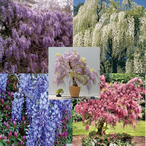Wisteria Vine 5 Colors And Varieties 10 50 100 500 1000 Seeds Choice Listing Wisteria Plant Flowers Perennials Plants