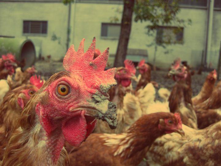 """""""Gallina che non becca ha già beccato.""""   An italian #proverb #hen #animals #countryside"""