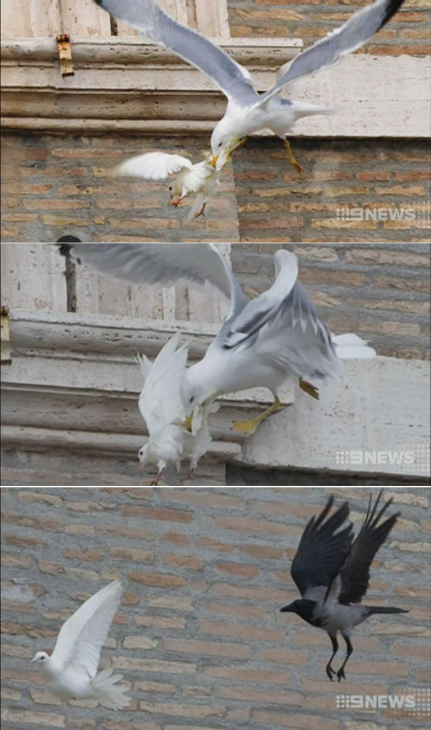 Pics from Australian News 27/01/14. Doves were released to celebrate the Popes visit and both were instantly attacked in front of the crowd and haven't been found. One by a Seagull and one by a Crow. Great show of Peace God. Great show!