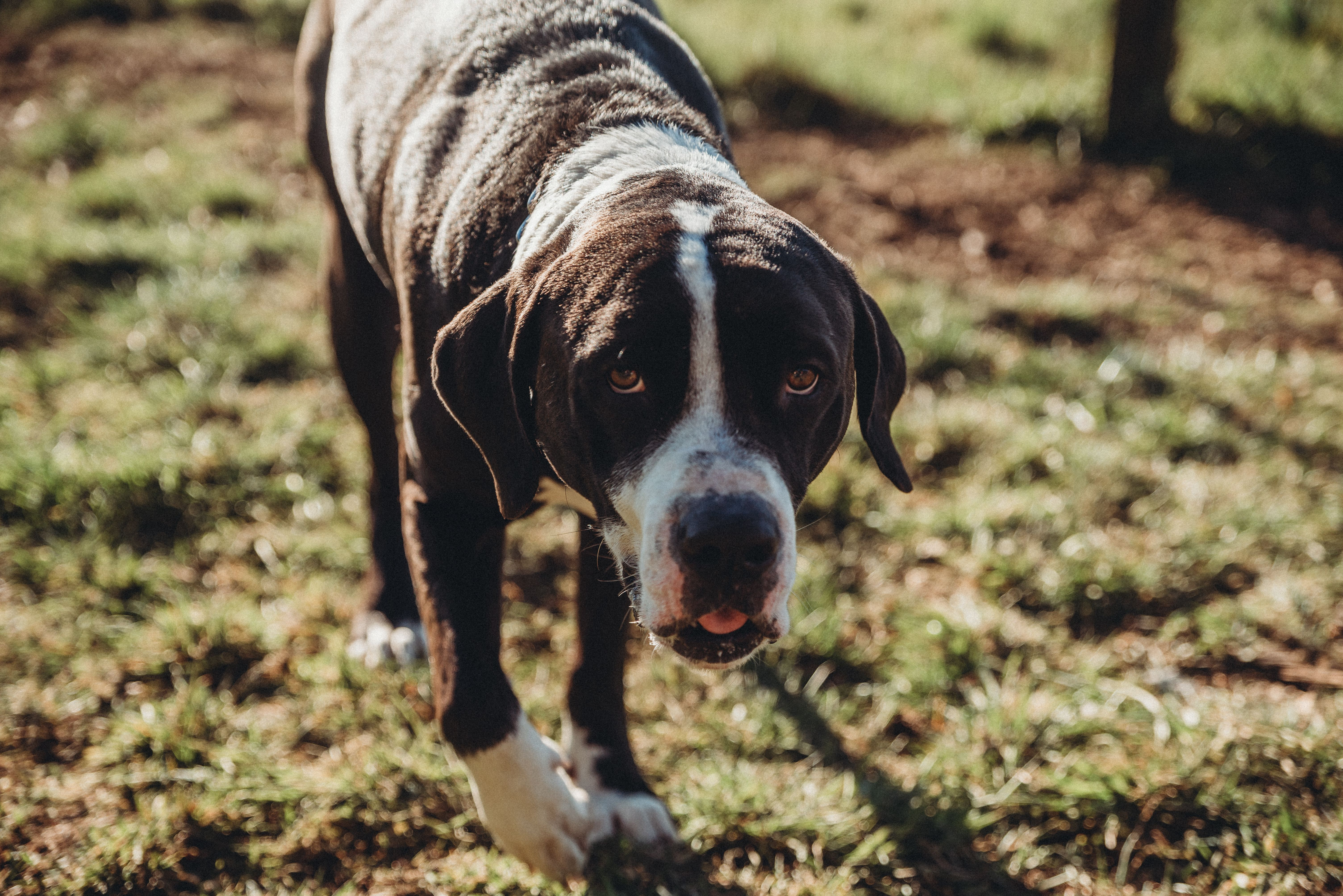 Adopt Jinx On Lap Dogs Mastiff Mix Pet Search