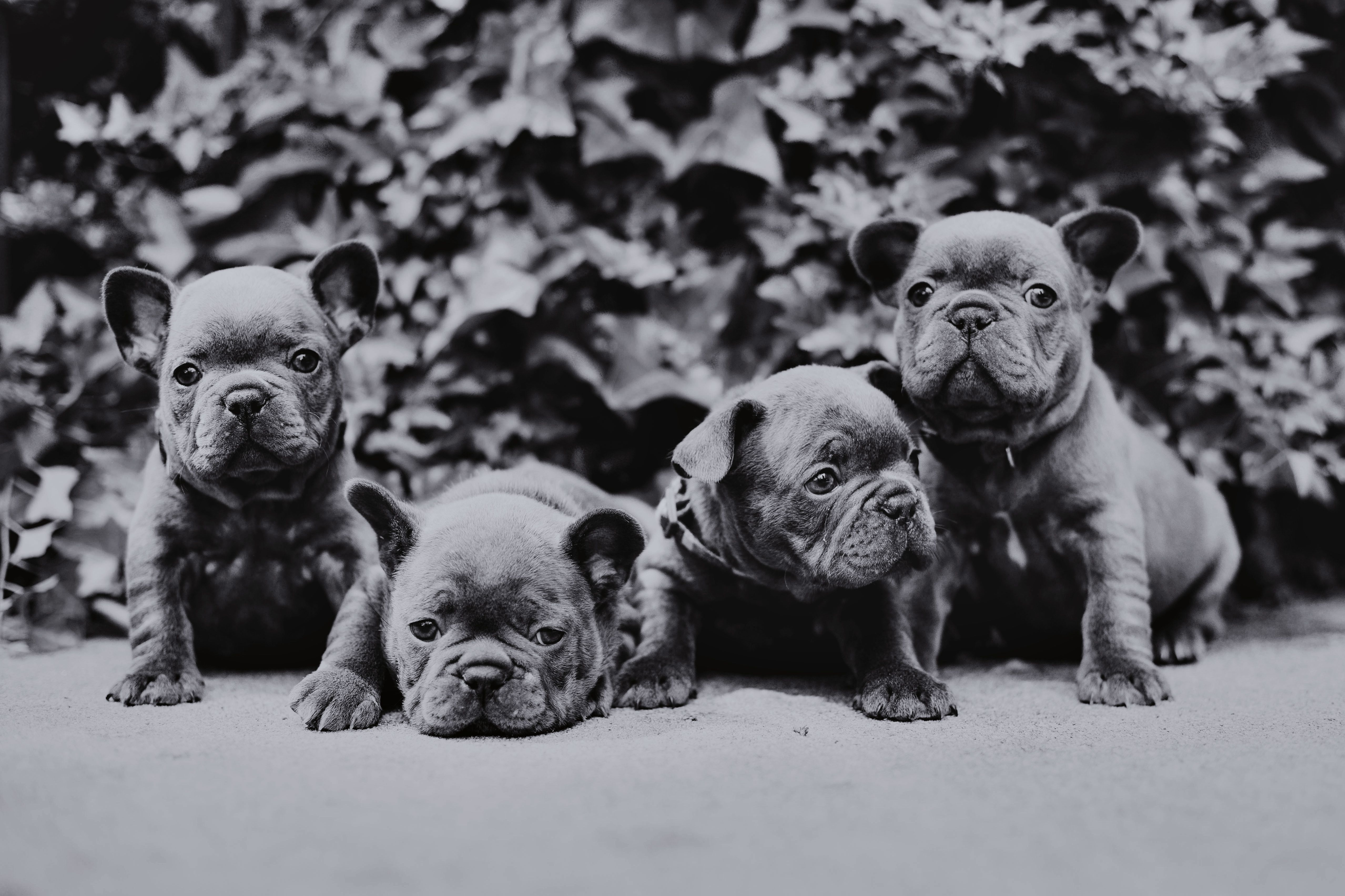 I miss these babies from Sophie Piglet! French bulldog