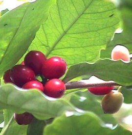 Hirt S Arabica Coffee Bean Plant 4 Pot With Decorative Pot Cover 9 99 Coffee Plant Arabica Coffee Beans Coffee Flower