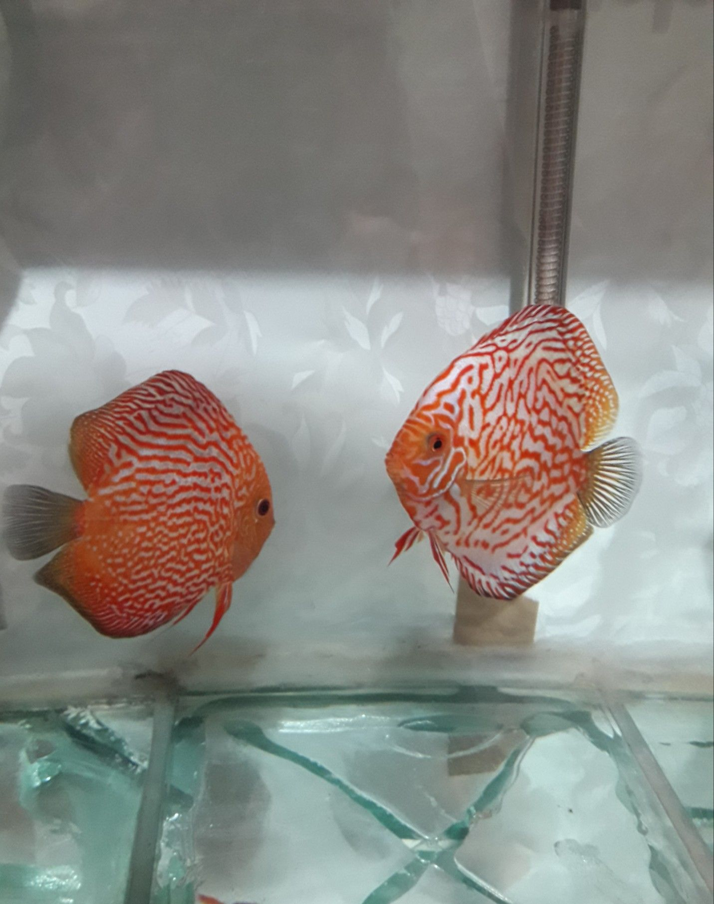 Pin By Jacqueline Hart On دیسکس Tropical Fish Discus Fish Fish Pet